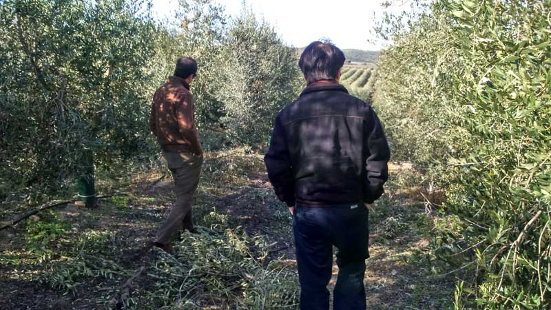 Walking along an olive grove, understanding how olive trees are nurturing.